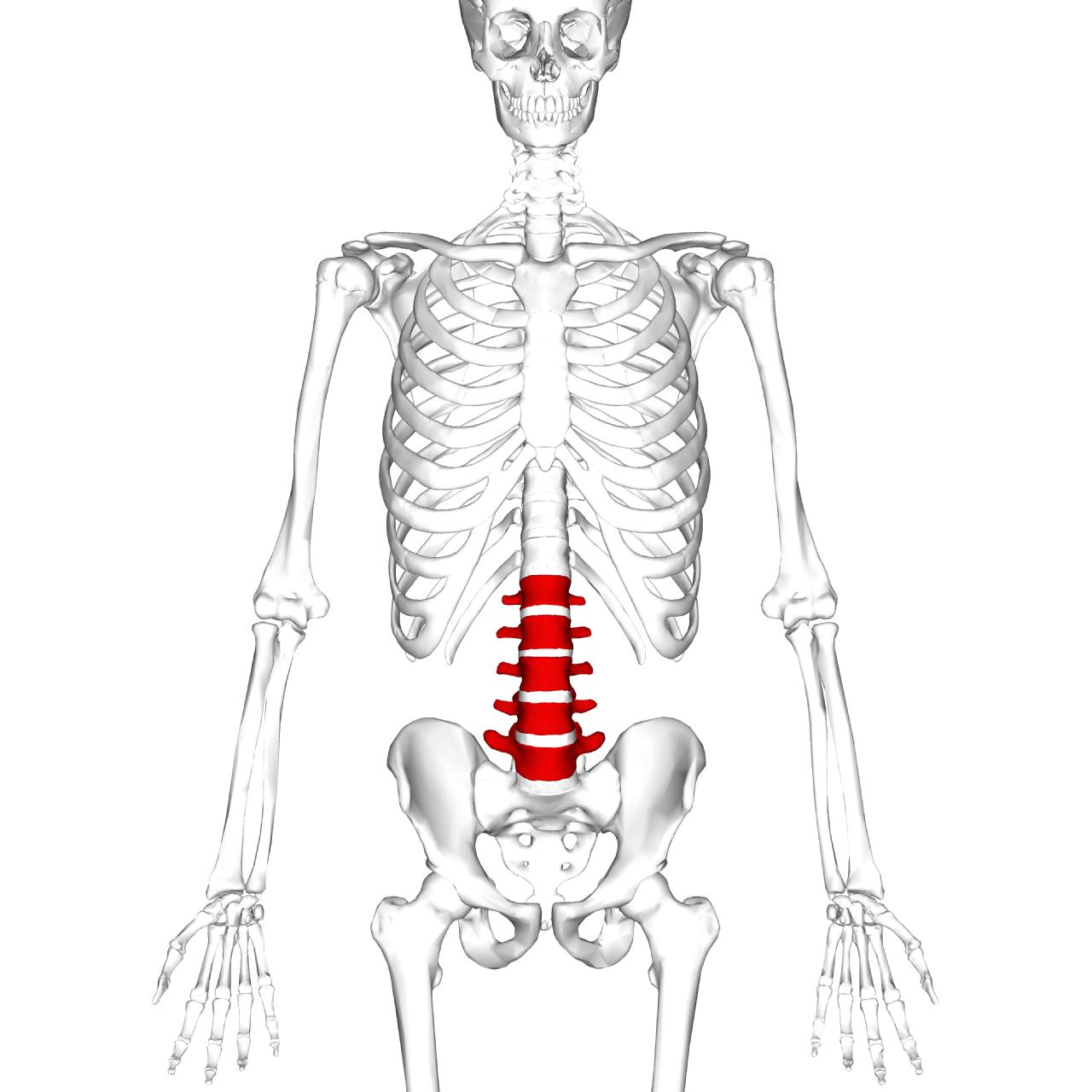 Lumbar_vertebrae_anterior
